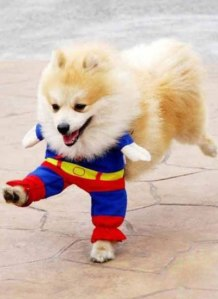 Superman puppy!