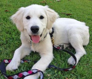 nellie-the-golden-retriever_72785_2013-10-21_w450