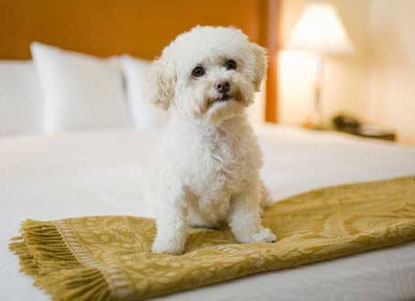 Kimpton-white-dog-on-bed